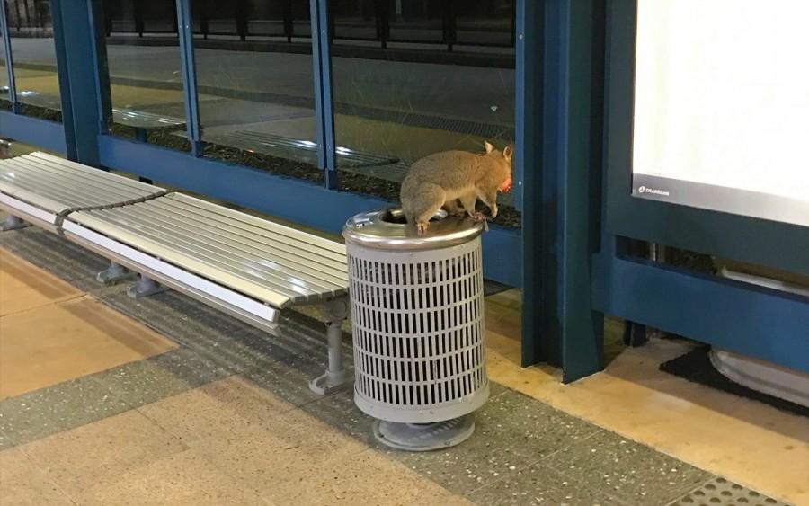 ブリスベンで出会える動物、ポッサム