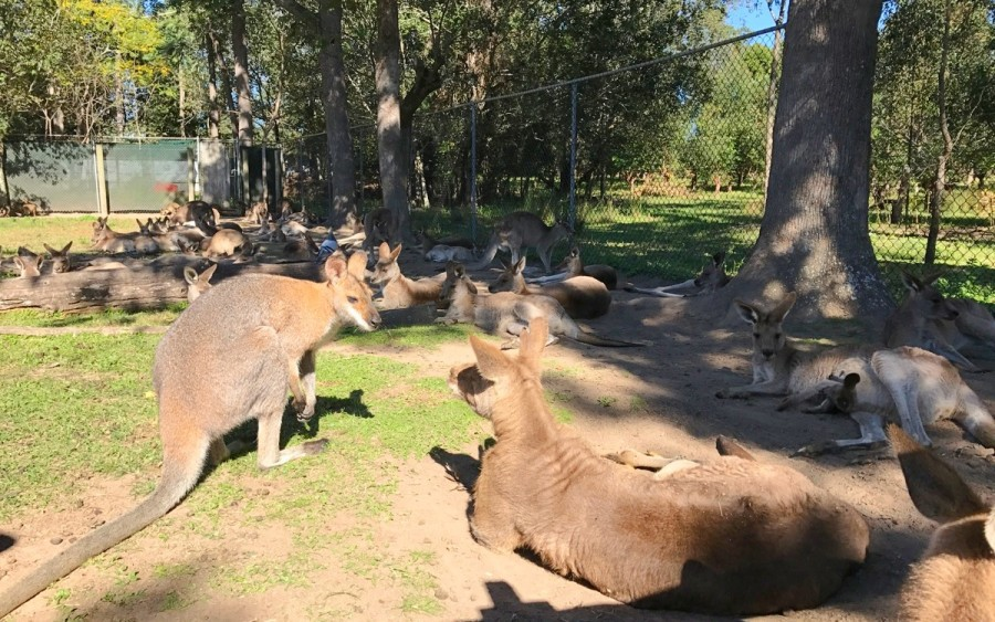 ブリスベンで出会える動物、カンガルー
