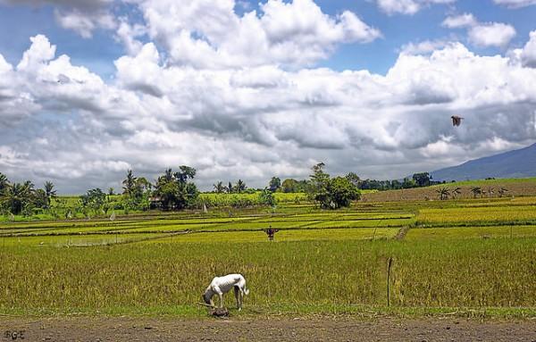マンブカルの砂糖きび畑