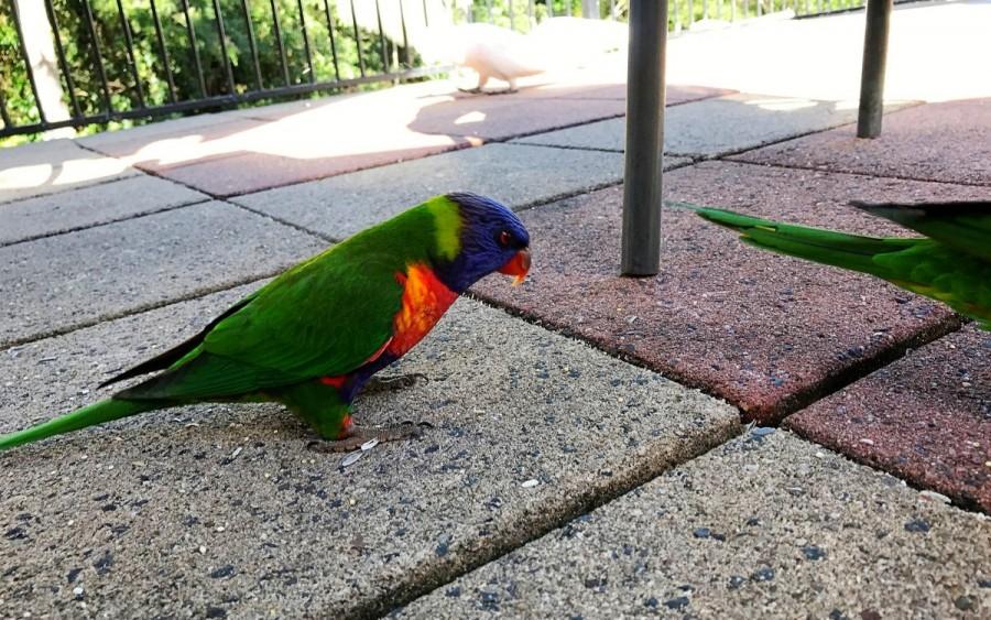 ブリスベンで出会える動物、レインボーロリキート
